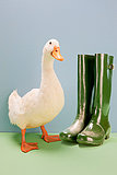 Ente stndigen von Wellington Boots, Schu