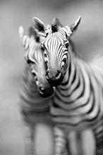 Paar Zebras