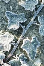 Frost abgedeckt ivy