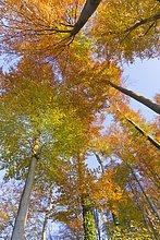 Untersicht Buche Bäume im Park, Aigner Park, Gaisberg, Salzburg, Österreich