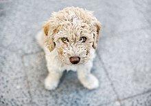 Spanisch Wasser Hund, portrait