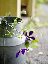 Blume,Garten,Milch,Schweden