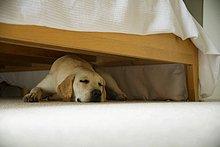 Hund unter einem Bett schlafen.