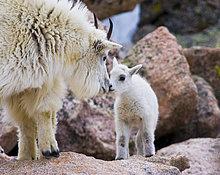 Mutter Bergziege mit Neugeborenen Kind, Denver, Colorado