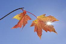 Ahornblatt,Vereinigte Staaten von Amerika,USA,Himmel,blau,Neuengland