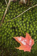 Ahornblatt in Herbstfarben, Nahaufnahme, North Carolina, USA.