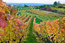 Weinberg im Herbst, Österreich