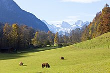 Rinder grasen auf einer grünen Wiese, Schneizlreuth, Deutschland, Erhöhte Ansicht
