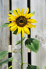 Sonnenblume an Zaun