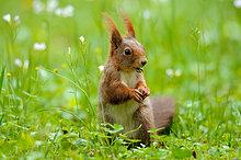 Eichhörnchen (Sciurus vulgaris) auf einer Wiese, close-up