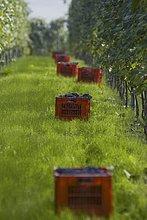 Weinlese von Nebbiolo-Trauben, Piemont, Italien