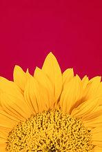 Blumenbl? ¤ tter der Sonnenblume