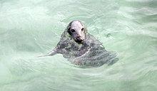 Robbe, Robbenauffangstation, Seal Sanctuary, Gweek, Cornwall, Südengland, Großbritannien, Europa