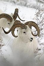 Dall-Schaf Rams auf verschneiten Hang IN AK Denali NP Herbst Polychromie übergeben