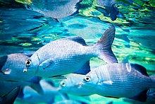 Unterwasseraufnahme,Fisch,Pisces,schwimmen
