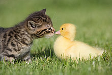 Kätzchen und Duckling auf Gras