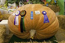 Gewinnen riesigen Kürbis von Dale Marshall an der Alaska State Fair in Palmer, Matanuska-Susitna Valley, South Central Alaska, Herbst 1101 Pfund wiegend gewachsen