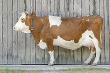 Kuh vor Scheune, Grainau, Bayern, Deutschland