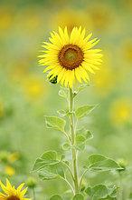 Sonnenblume (Helianthus annuus), Provence, Südfrankreich, Frankreich, Europa