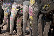 Bemalte Elefanten, Festung von Amber oder Amber Fort, Jaipur, Rajasthan, Indien, Asien