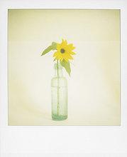 Polaroid einzelne Sonnenblume in alten grünen Glasflasche