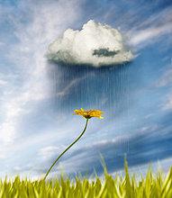 Sonnenblume, helianthus annuus ,beugen ,fangen ,Regen