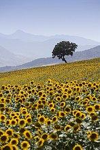 Europa ,Sonnenblume, helianthus annuus ,Spanien