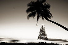 nahe ,sepia getont ,beleuchtet ,Fotografie ,Baum ,Ozean ,unterhalb ,Weihnachten ,Palme ,Hawaii ,Maui ,überhängen