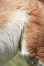 Guanako, Lama guanicoë ,Close-up, close-ups, close up, close ups