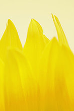 Sonnenblume, helianthus annuus ,Close-up, close-ups, close up, close ups ,Blütenblatt