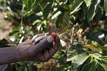 Ostafrika ,Kredit ,Kaffee ,Plantage ,Afrika ,Kenia