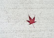 Pflanzenblatt, Pflanzenblätter, Blatt ,weiß ,rot ,Beton ,Kanada ,japanisch ,Ahorn ,Ontario ,Toronto