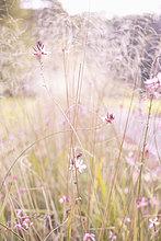 Blume ,Wachstum ,Pflanze ,pink