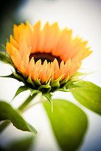 Sonnenblume, close-up