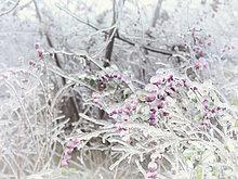 Überfrorene, eis-überzogene Zweige und rosa Beeren eines Schneebeeren-Strauchs