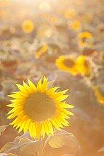 Sonnenlicht ,Sonnenblume, helianthus annuus