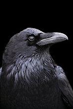 Profil, Profile ,Kolkrabe, Corvus corax ,schwarz ,Hintergrund ,Kalifornien