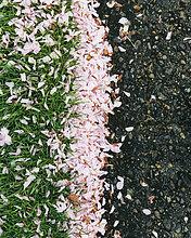 blasen, bläst, blasend ,fallen, fallend, fällt ,Weg ,Kirsche ,Blüte ,Blütenblatt ,sammeln ,pink ,Gras ,Fußgänger ,Seattle