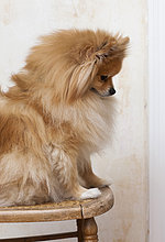 Studioaufnahme ,sitzend ,Portrait ,Stuhl ,Hund ,Spitz, Spitze