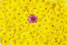 zwischen, inmitten, mitten ,Blume ,gelb ,Blüte ,pink ,Größe ,Chrysantheme