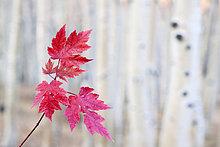 Ahornblatt,Hintergrund,Herbst,rot,Baumstamm,Stamm,Helligkeit,blass