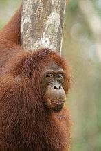 Borneo-Orang-Utan (Pongo pygmaeus), Nationalpark Tanjung Puting, Zentralkalimantan, Borneo, Indonesien