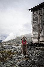 Weimaraner Jagdhund mit rotem Halstuch vor einer alten Holzhütte im Gebirge, Litledalen, Møre og Romsdal, Norwegen