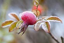 Mit Raureif bedeckte Hagebutte, Hunds-Rose (Rosa canina), Hessen, Deutschland, Europa