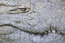 Nilkrokodil (Crocodylus niloticus), Detail von Auge, Haut und Zähnen, captive, St. Lucia, Südafrika, Nordamerika