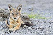 liegend,liegen,liegt,liegendes,liegender,liegende,daliegen,schwarz,Namibia,Rückansicht,Etoscha Wildpark,Etosha,Schakal