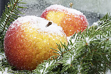 Ast,Kiefer,Pinus sylvestris,Kiefern,Föhren,Pinie,Apfel