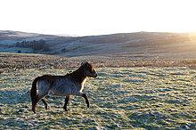 Welsh-Pony, Mynydd Epynt, Powys, Wales, Großbritannien, Europa