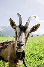 Ziege auf Weide, Goas-Alm, Mittenwald, Oberbayern, Bayern, Deutschland, Europa