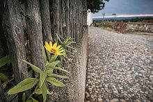 Sonnenblume am Holzaun, Münzenberg, Quedlinburg, Sachsen-Anhalt, Deutschland, Europa